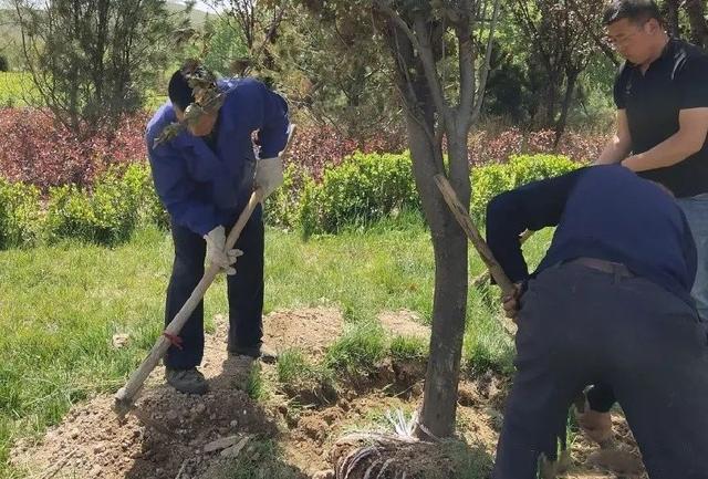 夏季植物保护:树木移栽后如何提高成活率