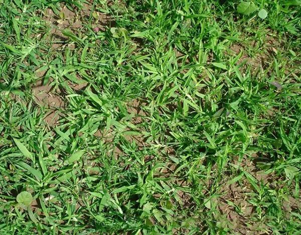 绿化养护中苗圃地牛筋草的识别与防除技术