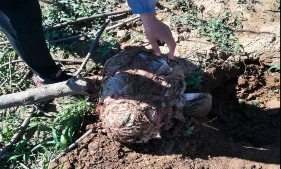 树木救治:树木移栽时土球包应该解开吗?