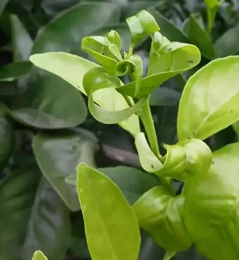 树木新叶细小翻卷要用好园林养护品