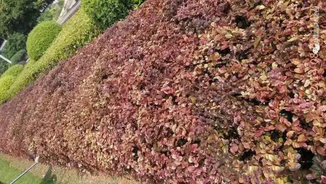传统肥料造成红继木大面积黄化