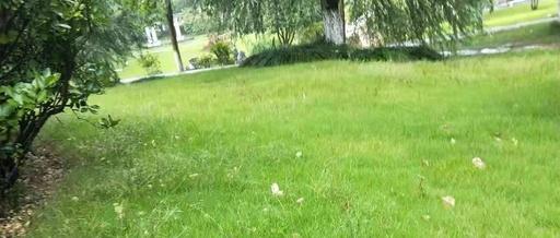 冷季型草坪除草剂使用方案分享