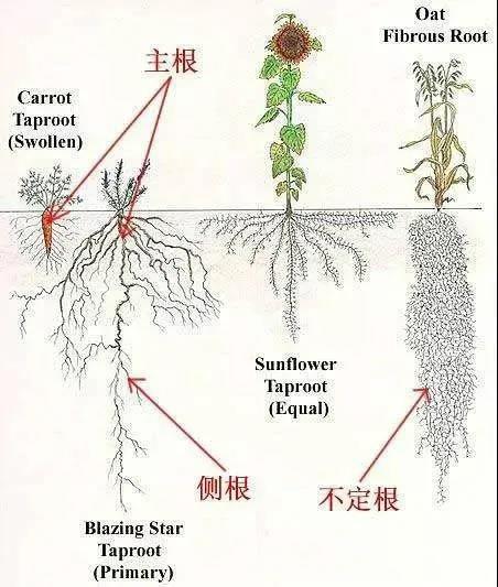根系腐烂:植物根系分类及生根方法
