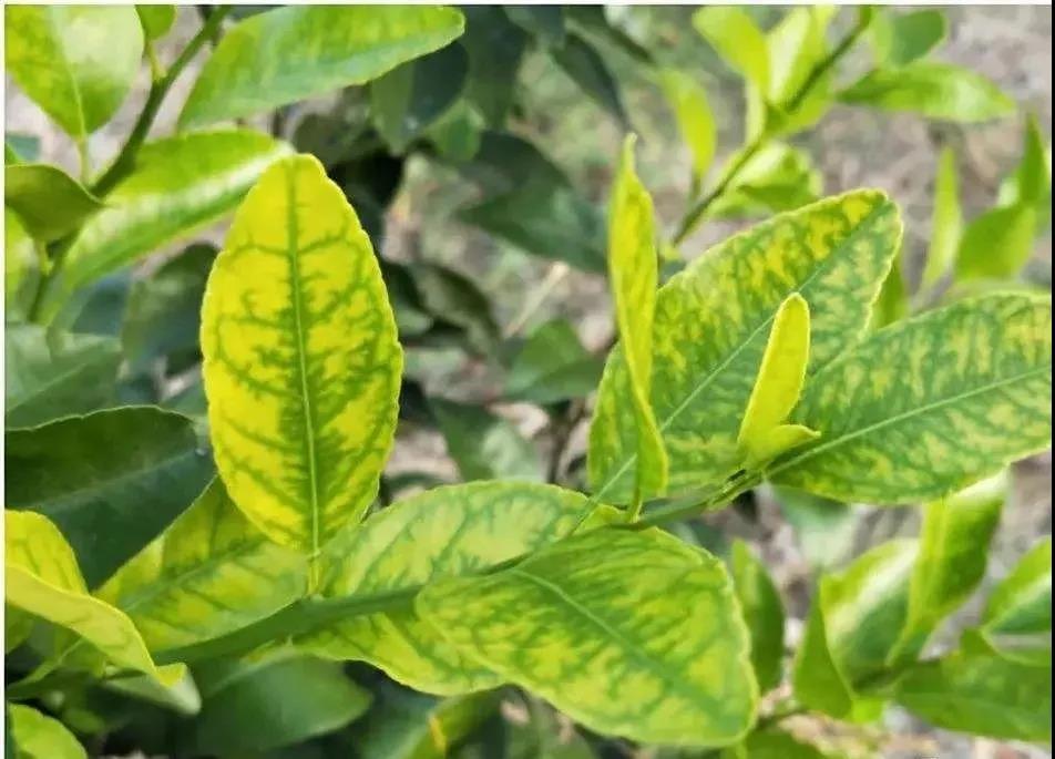 园林树木救治:苗木叶片黄化如何解决