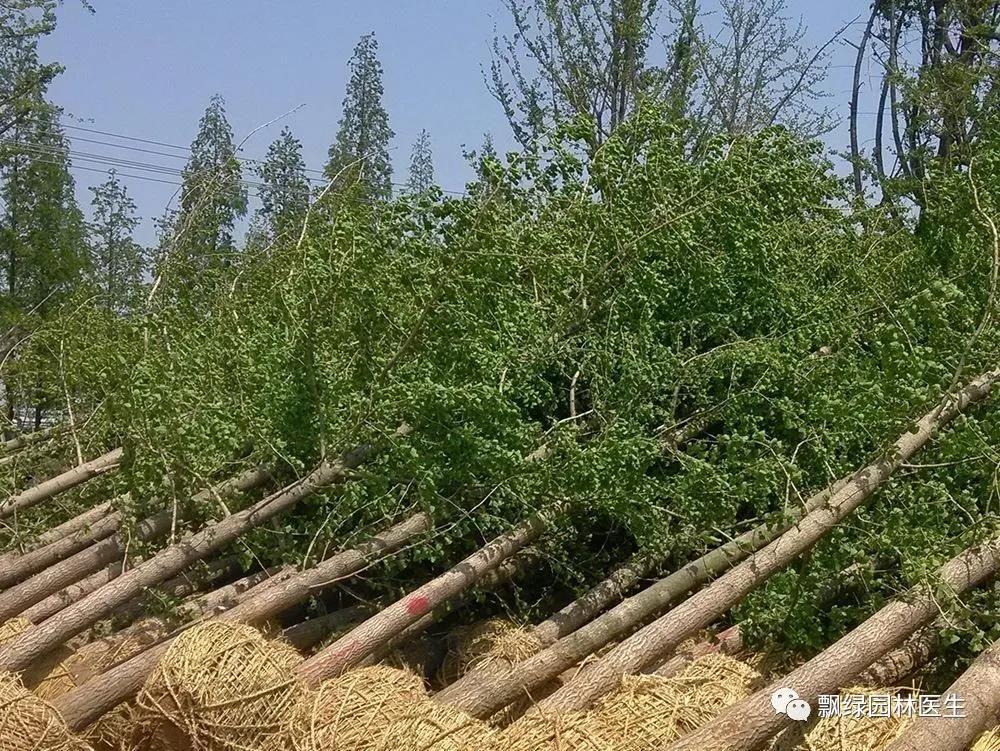 园林树木救治:园林僵苗应该如何处理