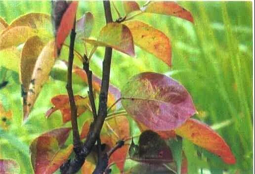 园林苗木变红该如何使用园林养护品