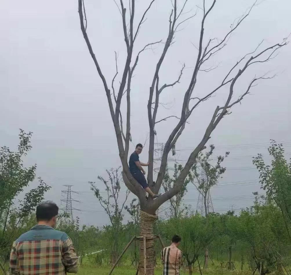 树木输液袋:大树输液常见误区