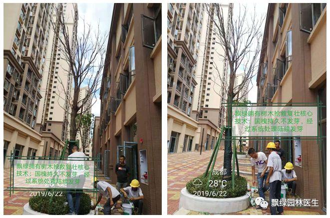 树木抢救复壮实战案例展示