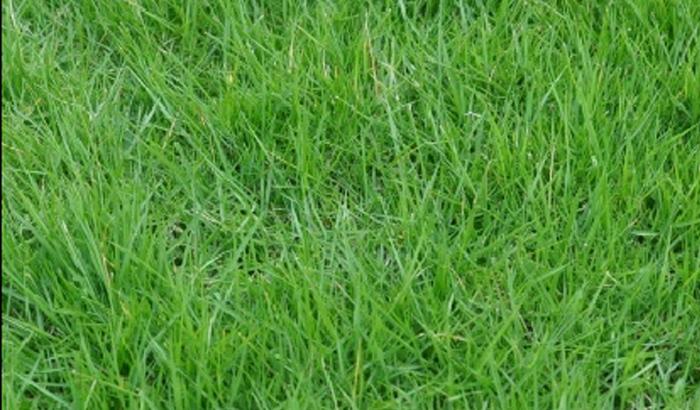 结缕草杂草防除