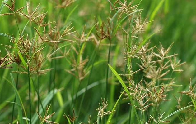 草坪杂草香附子防除