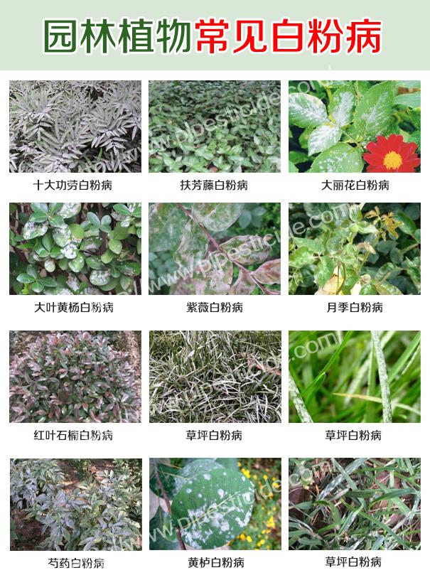 园林常见植物白粉病