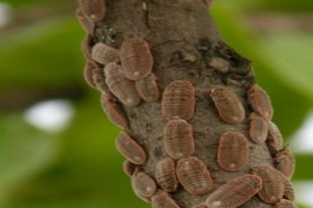 【园林虫害防治】园林常见蚧壳虫及防治措施