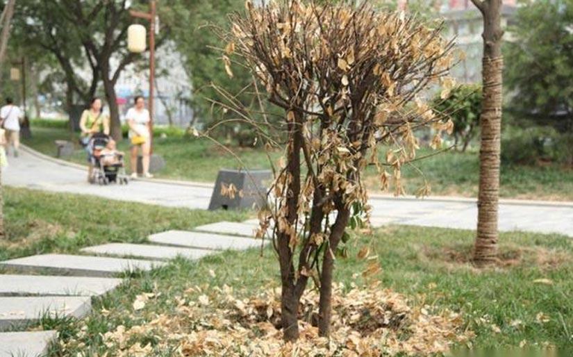 【树木救治】树木干枯,枯萎怎么救活?