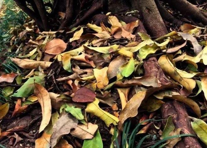 【树木救治】植物掉叶原因及处理措施