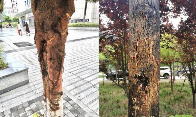 【园林树木救治】蛀干害虫防治小妙招