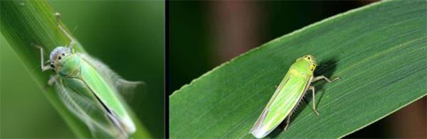 园林虫害防治叶蝉
