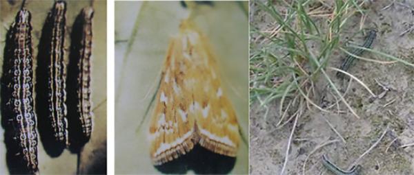 园林虫害防治草地螟
