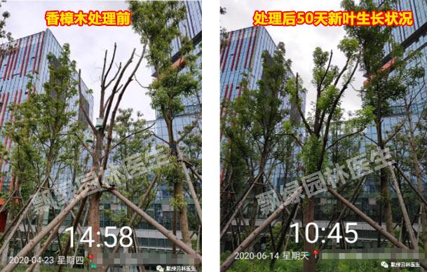 【园林树木救治】木移栽及救治系统处理方案