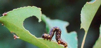 秋季常见园林病虫害发生规律及防治方法【图】