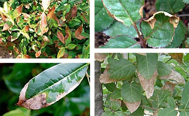 树叶发黄,大量落叶,如何进行预防?