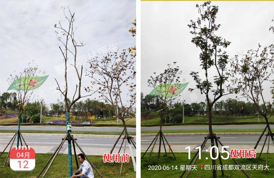没法芽的树木怎么抢救复壮?