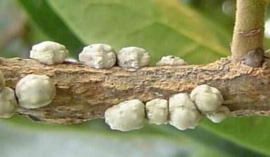 红叶石楠蚧壳虫