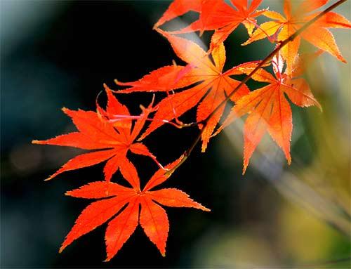 红枫叶子干枯,发黄,异常掉落怎么办?