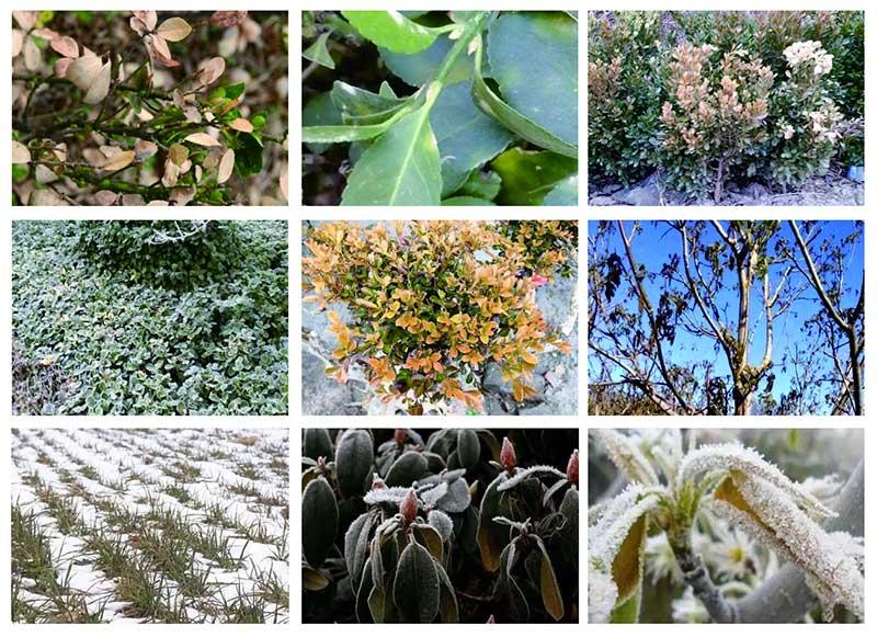 园林植物冻害预防及防治措施!