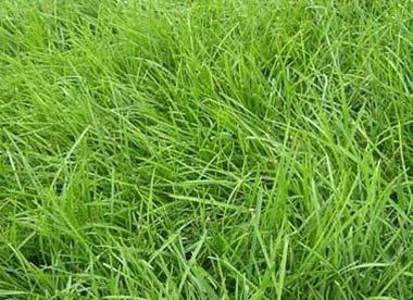高羊茅草坪杂草防治