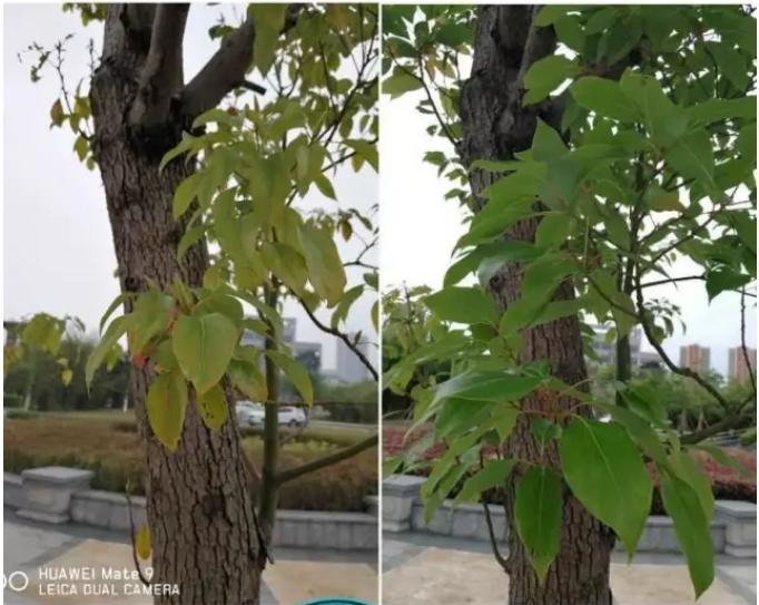 香樟树栽植后叶片小而发黄如何救治