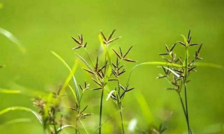 立秋后的杂草是否有防除的必要?
