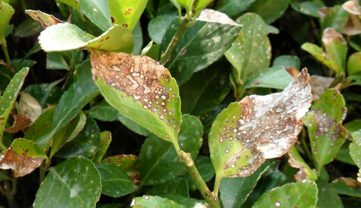 大叶黄杨叶的叶片有小斑点,色斑是什么情况如何处理?