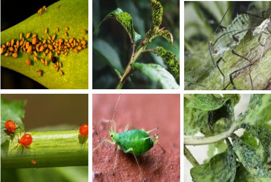 蚜虫的种类及防治方法【图】