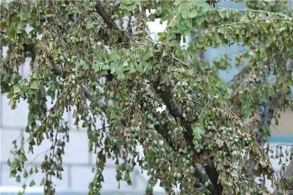 古树保护:树木假活的原因及处理措施