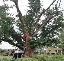 1安徽省淮北市古树复壮救2