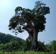 6三亚市古树名木抢救复壮 (3)