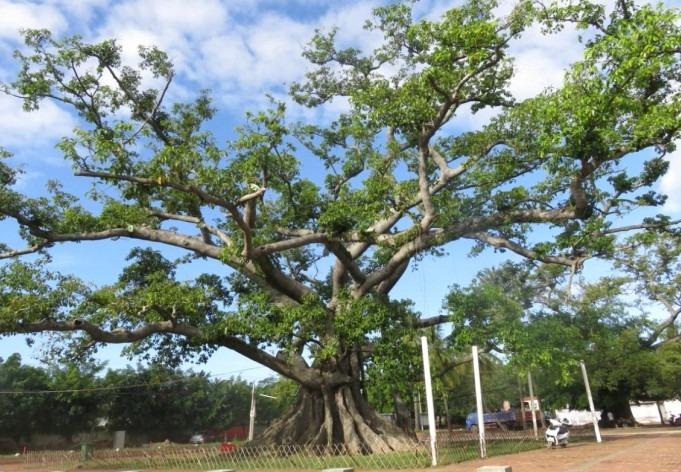 7飘之绿获邀拯救 800 年古榕树 (1)