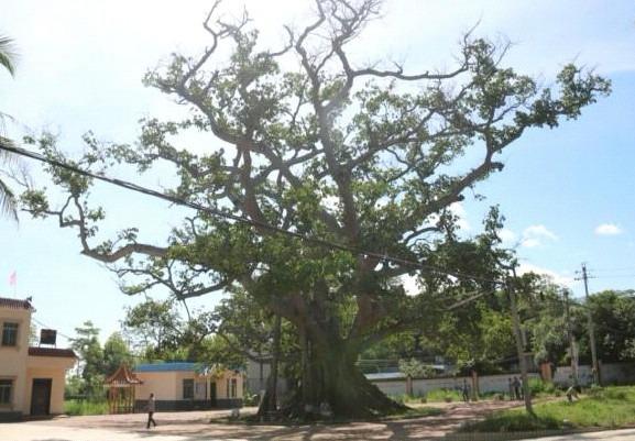 7飘之绿获邀拯救 800 年古榕树 (2)
