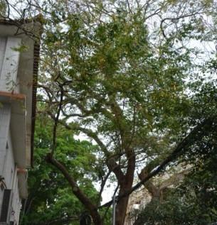 8飘之绿对肇庆市政府内3株古树复壮抢救1