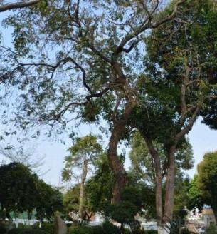 8飘之绿对肇庆市政府内3株古树复壮抢救3