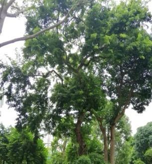 8飘之绿对肇庆市政府内3株古树复壮抢救4