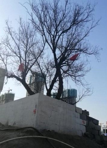 14济南市历下区7株古树名木保护工程1
