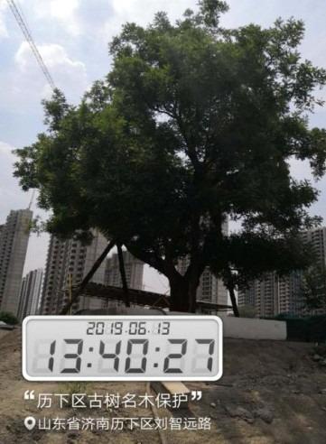 14济南市历下区7株古树名木保护工程2