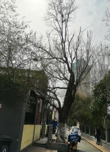 14济南市历下区7株古树名木保护工程3