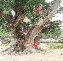 1安徽省淮北市古树复壮救1_20200106_165102884