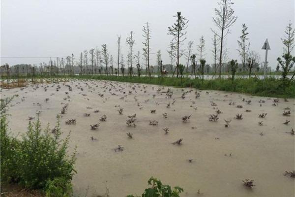 古树抢救:怎样抢救被水淹过的苗木