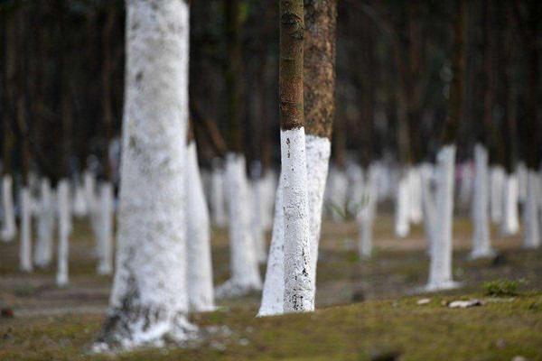 古树病虫害防控:树木常见越冬虫害综合防治