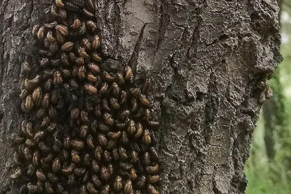 古树病虫害防控:绿化苗木病虫害防治方案