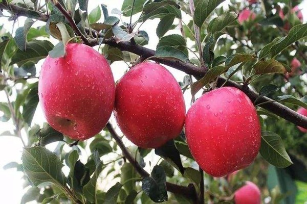 古树土壤改良:苹果弱树的复壮技术
