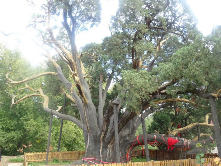 飘之绿将全面开展名木古树救治复壮工作